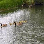 The Billet nature - family of Ducks swim by