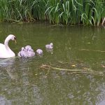 The Billet nature - Swan and Cygnets